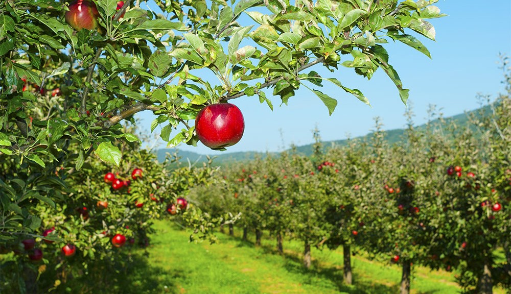 apples in the smoky mountains featured