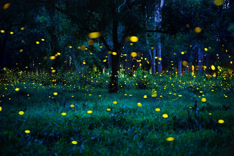 2019 Synchronous Fireflies in the Great Smoky Mountains