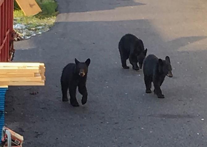 Gatlinburg - Big Bear Views Lodge - Baby Bears at Construction Site