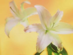 White lilies with yellow backdrop
